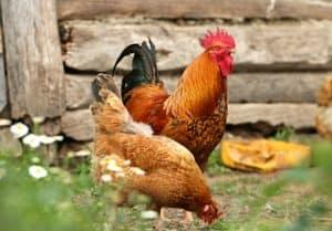 Kaufberatung für eine automatische Hühnerklappe