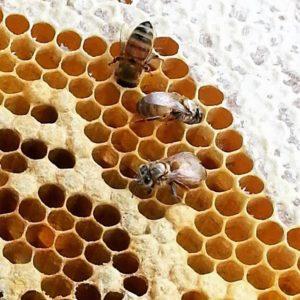 bienen waben honig honigbiene