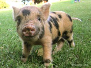 Warum ein Minischwein ein super Haustier ist!