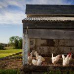 Das beste Zubehör für deinen Hühnerstall