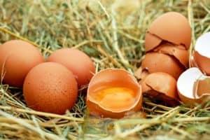 hühnerzucht für die eierproduktion