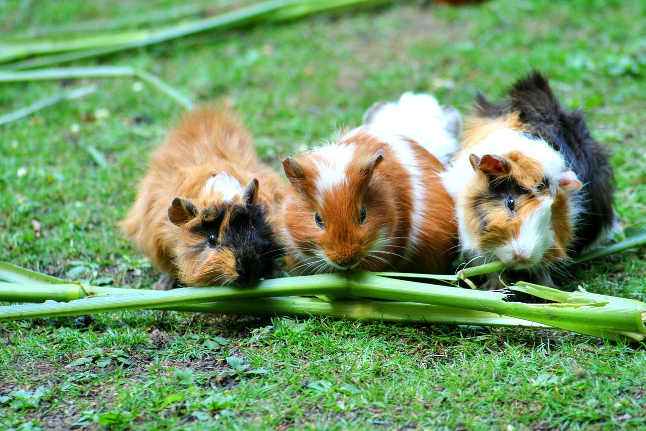 meerschweinchen tipps