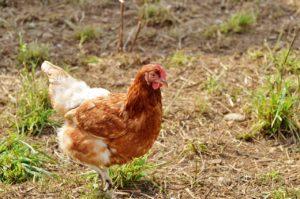 Hühner picken Wiese