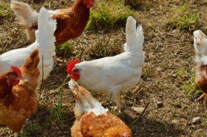 bio hühnerfutter selbstgemacht